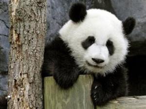 Panda_Ishet
